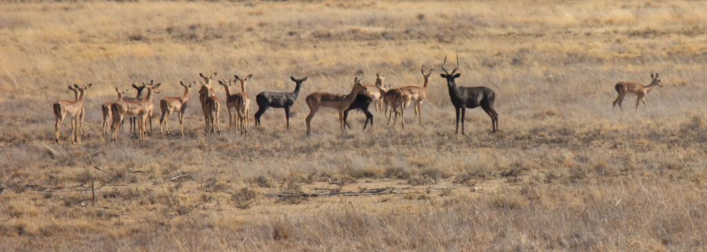 Springbok Hunting South Africa