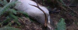 68 yard shot on bedded bull elk