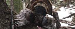 This is my 3rd Wild Turkey with your Knight Muzzleloader. This bird was taken this week in Colorado. I have taken one in Wyoming and  Nebraska the last few years. If you would like I can submit a full story about this hunt where my son and I both took Tom's with your Muzzleloader. I will send his photo also. Thanks for a great gun!  Steve
